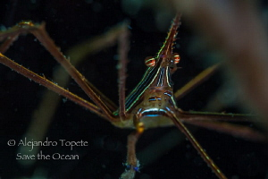 Arrow Crab in shadow, Veracruz Mexico by Alejandro Topete