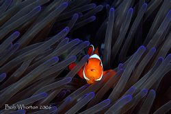 Anemonefish in blue tinged anemone. Shot at Pulisan North... by Dr Bob Whorton