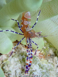 Spotted cleaner shrimp Bonaire by Chris Spray