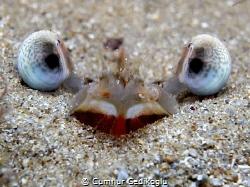 Penaeus kerathurus eyes by Cumhur Gedikoglu