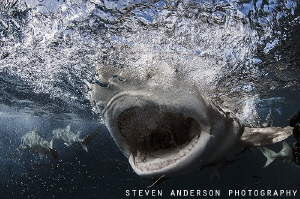Open Wide!!!!!!  Lemon Sharks at Tiger Beach never disapp... by Steven Anderson