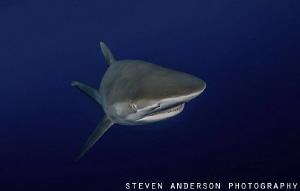 Sharks in the Gulf Stream off Jupiter FL by Steven Anderson