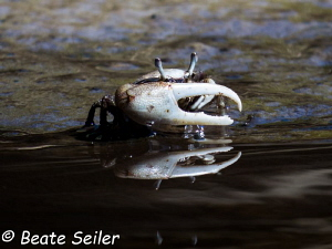 Fiddler crab at cow creek, ochlockonee river by Beate Seiler
