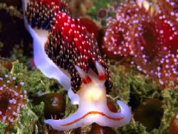 Pugnacious Aeolid and Corynactis anemones--San Miguel Isl... by Andrew Dawson