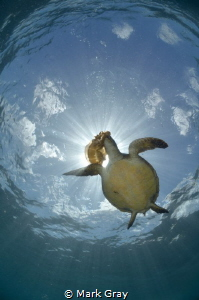 Green Turtle eating Jellyfish Sunburst by Mark Gray