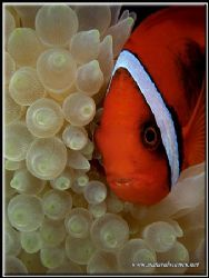 Bridled clown fish having a face rub whith his all white ... by Yves Antoniazzo