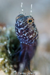 Saillfin Blenny by Henley Spiers