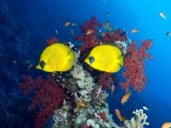 Masked butterfly fish taken at Yolanda Reef, Ras Mohamed ... by Nikki Van Veelen