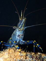 Common prawn (Palaemon serratus) - Picture taken in Kenma... by Gary Carpenter