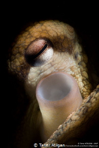 Snooted octopus by Taner Atilgan