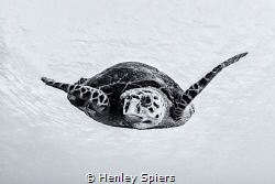 Turtle Portrait by Henley Spiers