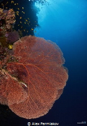 Huge sea fan at Balicasag island by Alex Permiakov