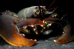 European lobster or common lobster (Homarus gammarus), Ze... by Filip Staes