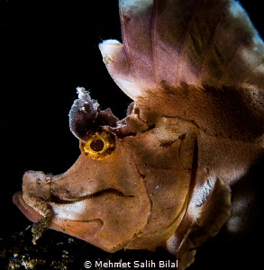 A Rhinopia Eschmeyeri in Bali. Retra snoot. by Mehmet Salih Bilal