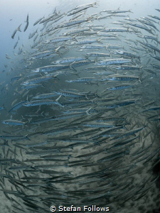 Spin  Chevron Barracuda - Sphyraena qenie  Sail Rock,... by Stefan Follows