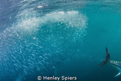 Speedy Tuna Hunting Sardines by Henley Spiers