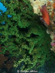 Coral Trout. Raja Ampat. by Morgan Ashton