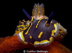 Hypselodoris picta by Cumhur Gedikoglu