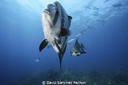 atlantic spadefish swimming 1/3 by David Sanchez Pachon