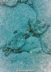 Baby & Mama Turtle, South Kona by Alison Ranheim