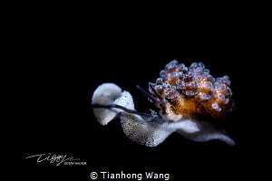 Afro-hair  .Doto sp.  in Anilao by Tianhong Wang