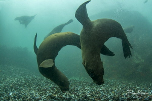Playfull Cape Fur Seals, Patridge point, False bay, South... by Filip Staes