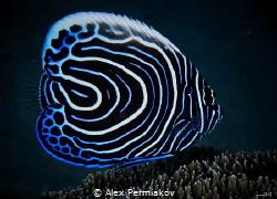 Juvenile emperor angel fish by Alex Permiakov