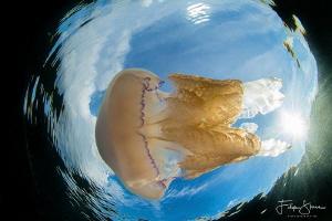 Barrel jellyfish in Snell's window, Zeeland, The Netherla... by Filip Staes