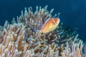Anemone fish + shrimp by Mathias Weck