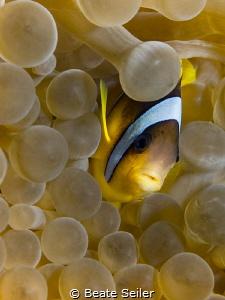Clownfish by Beate Seiler