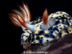 Hypselodoris infucata by Cumhur Gedikoglu