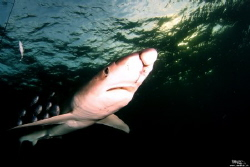 Scareface - blue shark with deep cuts in the face by Daniel Strub