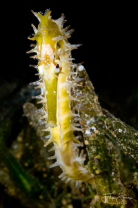 Jayakar's seahorse Hippocampus jayakari), Dahab, Red sea. by Filip Staes