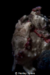 Simple Frogfish - warts and all by Henley Spiers