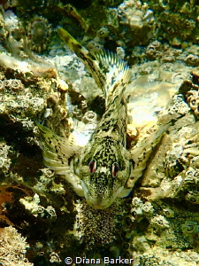 Blenny (Lipophrys polis) off Portland Bill, UK by Diana Barker