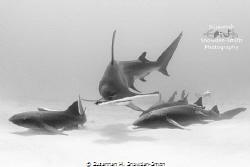 A hammerhead splits a grouping of nurse sharks as it crui... by Susannah H. Snowden-Smith