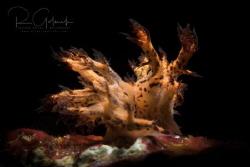 Dendronotus regius mating-Anilao, Phillippines. by Richard Goluch