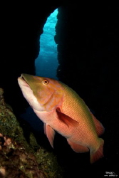 Hogfish by Daniel Strub