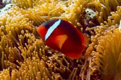 Fijian Anemonefish. Commonly mistaken as the Tomato Anemo... by Allan Vandeford