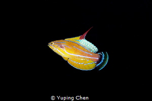 Flasher/Ambon Bay,Indonesia, Canon 5D MarkIII, 100mm Lens... by Yuping Chen