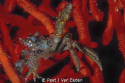 Salute the spider crab by Peet J Van Eeden