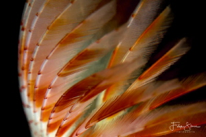 Peacock worm (Sabella pavonina), Oosterschelde, Zeeland, ... by Filip Staes
