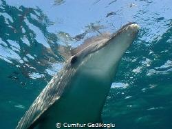 Bottlenose dolphin by Cumhur Gedikoglu