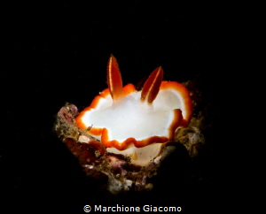 Glossidoris averni.