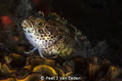 Klip fishes are colorful and always inquisitive by Peet J Van Eeden