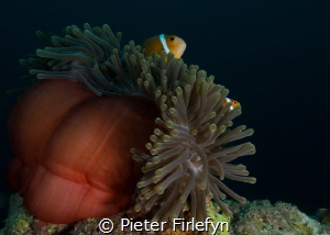 Anemon with clownfishes by Pieter Firlefyn