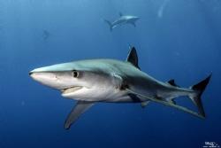 Blue shark, Azores by Daniel Strub