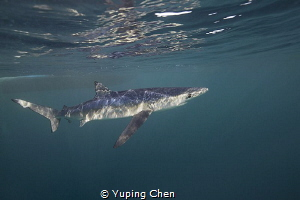 Blue Shark/ San Jose Lucas, Mexico/Canon 5D MarkIII, 16-3... by Yuping Chen