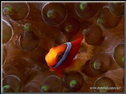 Funky anemone for this male Bridled clown fish by Yves Antoniazzo