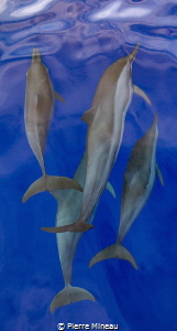 Spinner dolphins riding the bow wave of our dive boat. by Pierre Mineau